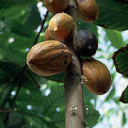 cocoa tree for weight loss mega thin
